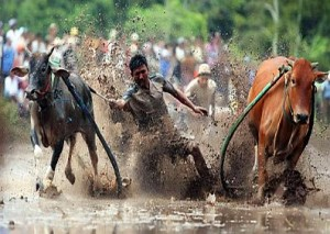 Cow Racing in Southern Vietnam